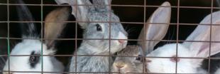 Vidéo choc d'un élevage de lapins de chasse : de la chair à canon martyrisée