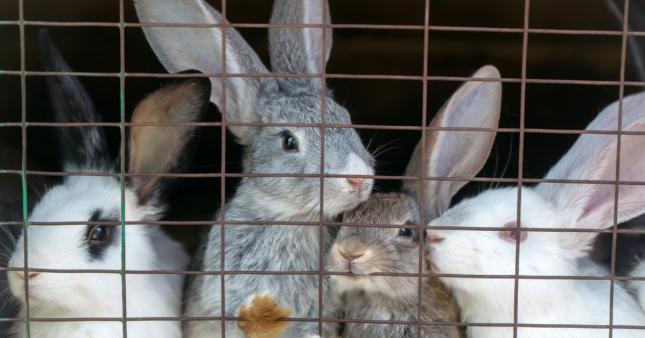 Vidéo choc d'un élevage de lapins de chasse: de la chair à canon martyrisée