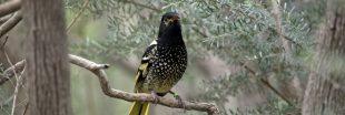 Espèces en danger : un oiseau australien oublie son chant d'amour