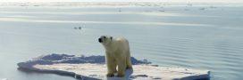 Réchauffement climatique: les ours polaires menacés par la famine