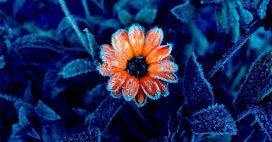 Comment sauver une plante gelée