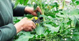 Tous les conseils pour tailler vos pieds de tomates