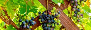 Tous les conseils pour savoir comment tailler la vigne