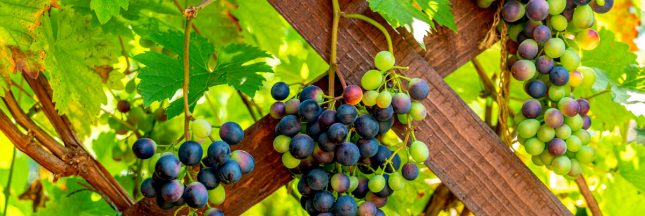 taille vigne