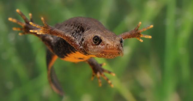 Dans la famille biodiversité ordinaire, protégeons le triton crêté