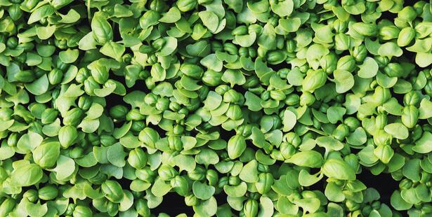 semis basilic