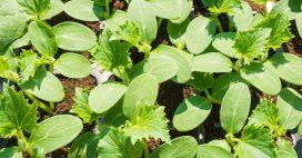 Tout savoir pour réussir vos semis de courgettes