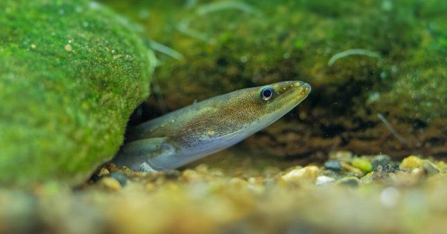 Dans la famille biodiversité ordinaire, protégeons l'anguille d'Europe