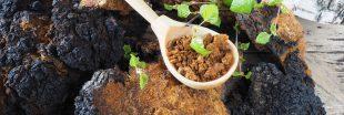 Le chaga, l'un des champignons les plus riches en nutriments