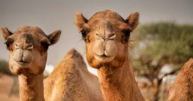 Les chameaux meurent… d'avoir mangé des kilos de plastique