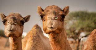 Les chameaux meurent... d'avoir mangé des kilos de plastique