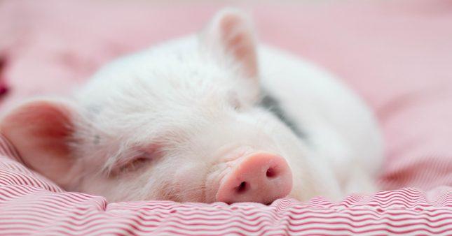 Animal de compagnie étonnant, le cochon charme aussi par son intelligence