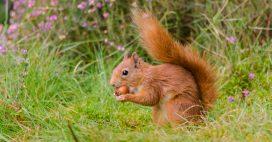 Pour sauver les jeunes écureuils, faites un don de noisettes
