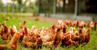 Enquête L214 : l'élevage de poules au sol, une fausse alternative à l'élevage intensif