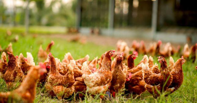 Enquête L214: l'élevage de poules au sol, une fausse alternative à l'élevage intensif