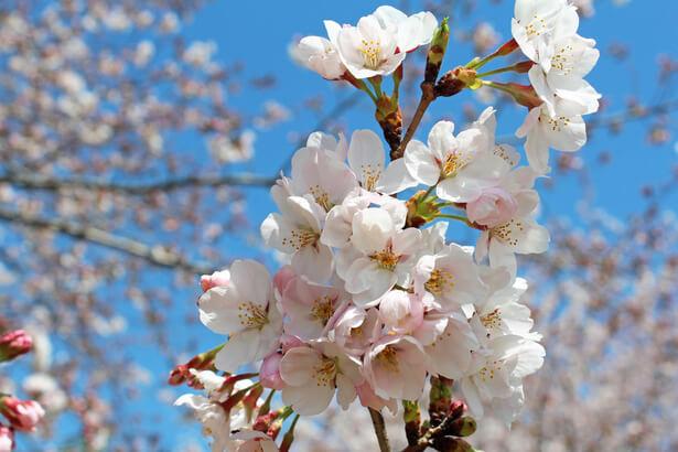 floraison cerisiers japon record