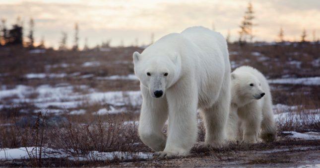 Affamés, les ours polaires déciment les nids d'oiseaux à la recherche d'oeufs