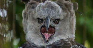 La Harpie féroce, un rapace hors norme