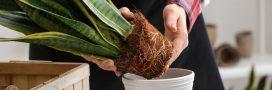 Nos conseils pour savoir comment rempoter une plante