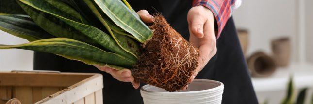 rempoter une plante