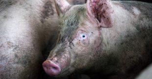Nouvelles images choc dans un abattoir ! L214 demande un audit dans tous les abattoirs de France