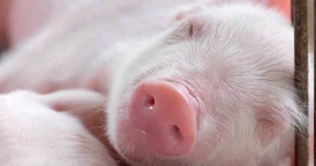 Même les cochons ont le bâillement contagieux