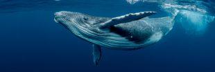 La baleine, une alliée de taille pour lutter contre le réchauffement climatique