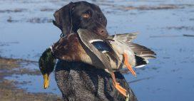 Des canards élevés pour la chasse dans des conditions atroces – les images chocs de Pierre Rigaux