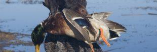 Des canards élevés pour la chasse dans des conditions atroces - les images chocs de Pierre Rigaux