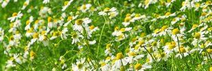 Herboristerie maison - 6 plantes médicinales incontournables à faire pousser au jardin