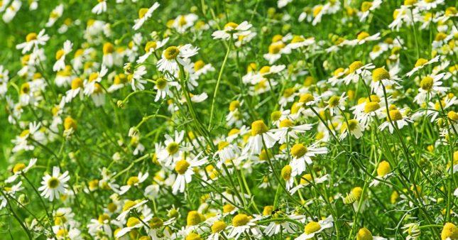 Herboristerie maison – 6 plantes médicinales incontournables à faire pousser au jardin