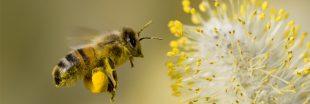 Désormais, les abeilles butinent aussi... des microplastiques !