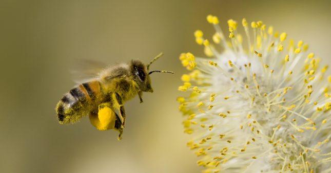 Désormais, les abeilles butinent aussi… des microplastiques!