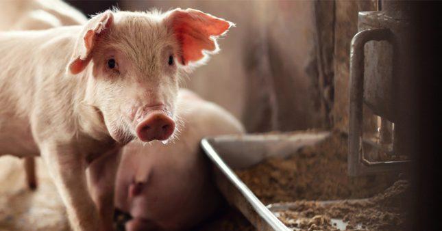 Rebaptisées PAT, les farines animales vont faire leur retour dans les élevages