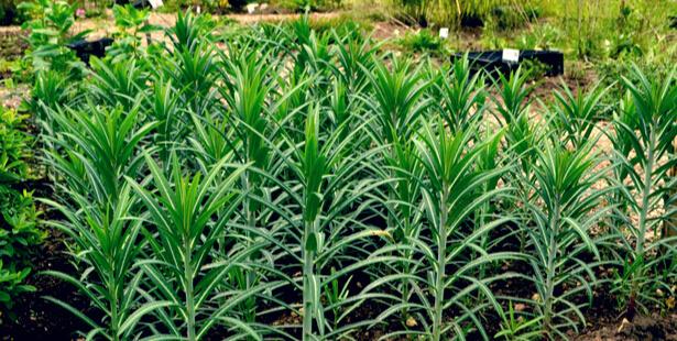 plante anti-taupe