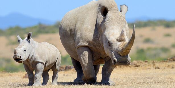 rhinocéros sauvegarde nucléaire