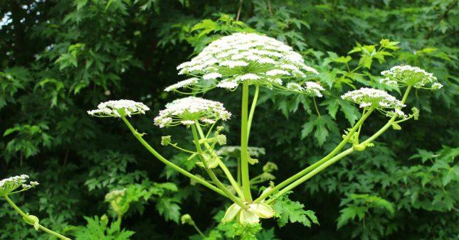 Berce du Caucase: attention, cette plante courante invasive est toxique!