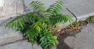 L'ailante : plante sauvage du bitume ou espèce invasive ?