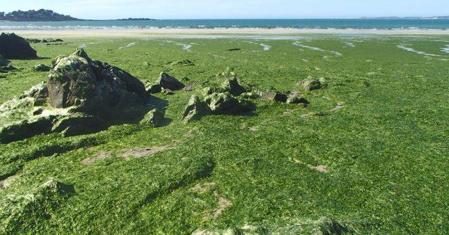 Algues vertes en Bretagne: l'État condamné à agir