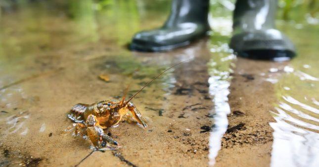 Les écrevisses victimes des antidépresseurs présents dans l'eau des rivières