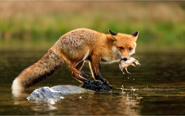 arrêtés anti-renard annulés somme