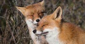 Dans la Somme, les renards peuvent enfin 'dormir sur leurs deux oreilles'