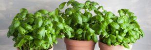 Comment conserver son basilic en pot ?