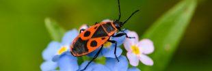 Dans la famille biodiversité ordinaire, protégeons la punaise gendarme