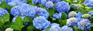 Comment avoir des hortensias bleus dans mon jardin