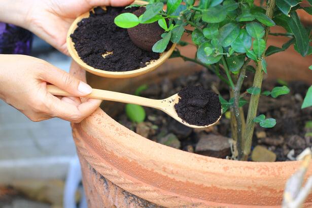 marc de café plante