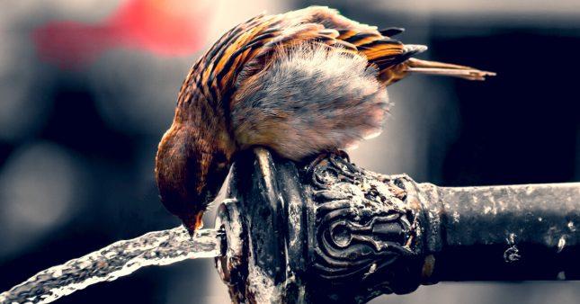 Comment aider les oiseaux eux aussi victimes des canicules