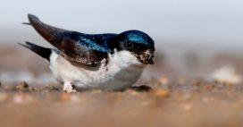 L'effondrement des populations d'oiseaux, même des plus communs, se poursuit