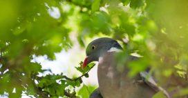 Dans la famille biodiversité ordinaire, découvrons le Pigeon ramier