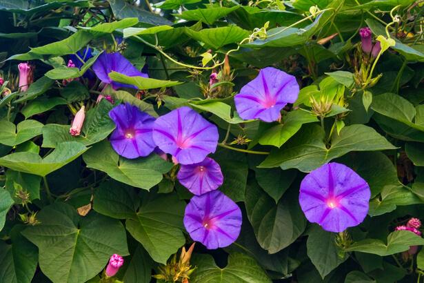 plante grimpante rapide